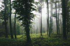Floresta enevoada encantado com luz mágica Fotos de Stock