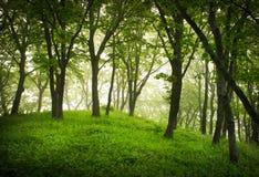 Floresta enevoada, paisagem místico Fotografia de Stock Royalty Free