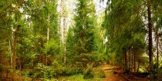 Floresta ensolarada Fotografia de Stock Royalty Free