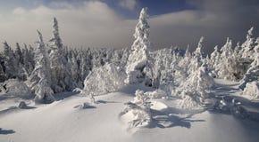 Floresta ensolarada brilhante do evergreen do inverno Imagens de Stock