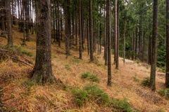 Floresta escura das madeiras do abeto vermelho com grama amarela na terra Foto de Stock Royalty Free