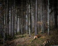 Floresta escura do coto da montanha Carpathian fotografia de stock