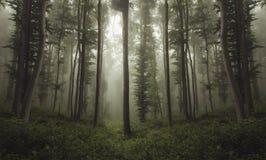 Floresta estranha bonita com névoa através das árvores de faia Imagem de Stock