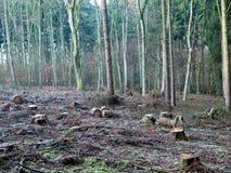 Floresta europeia com as árvores reduzidas numerosas foto de stock royalty free