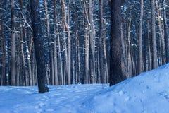 Floresta fantástica do inverno com os pinhos altos densos e o ninguém ao redor Fotos de Stock