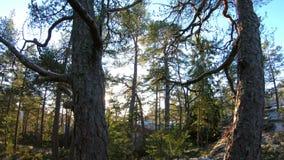 Floresta finlandesa no inverno adiantado vídeos de arquivo