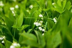 Floresta, flores selvagens flores delicadas contra um fundo da floresta do pinho em maio e abril Paisagem da mola Flores foto de stock royalty free