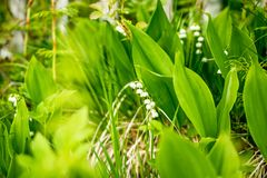 Floresta, flores selvagens flores delicadas contra um fundo da floresta do pinho em maio e abril Paisagem da mola Flores Fotos de Stock