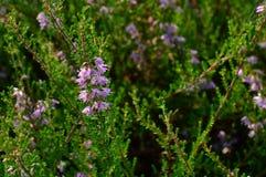 A floresta floresce o zimbro nas gotas do orvalho da manhã do verão Fotos de Stock Royalty Free