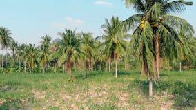 Floresta fresca da palmeira com cocos e grama verde filme