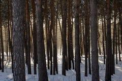 Floresta grossa do pinho atrás das árvores altas que podem ser vistas o fulgor brilhante do sol do inverno Imagens de Stock Royalty Free