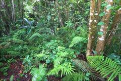 Floresta húmida do negro de Toro - Puerto Rico fotos de stock