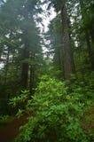 Floresta húmida noroeste pacífica Fotos de Stock
