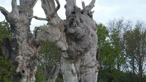 Floresta hirto de medo antiga dos dríades do carvalho que aprecia o dia que comemora 2000 anos 23 fotografia de stock
