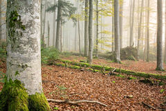 Floresta II da faia (Fagus) Foto de Stock Royalty Free