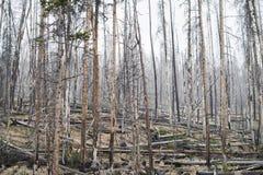 Floresta inoperante das árvores - parque nacional de Yellowstone Foto de Stock Royalty Free