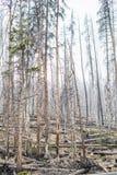 Floresta inoperante das árvores - parque nacional de Yellowstone Fotos de Stock Royalty Free