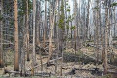 Floresta inoperante das árvores - parque nacional de Yellowstone Imagem de Stock