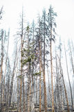 Floresta inoperante das árvores - parque nacional de Yellowstone Imagens de Stock