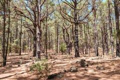 Floresta interna das coníferas, pinheiros na paisagem da floresta, Esperanza imagem de stock royalty free