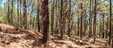Floresta interna das coníferas, pinheiros na paisagem da floresta, Esperanza imagens de stock royalty free