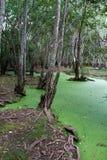 Floresta interna dos manguezais Imagens de Stock