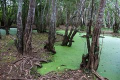 Floresta interna dos manguezais Foto de Stock