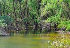 Floresta inundada Fotografia de Stock