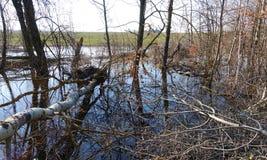 A floresta inundou com água do derretimento em um dia de mola foto de stock