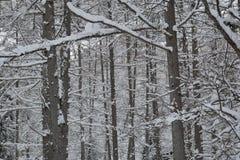 Floresta japonesa do larício no inverno Foto de Stock Royalty Free