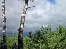 Floresta lituana Imagem de Stock Royalty Free