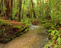 Floresta luxúria do Redwood e córrego, Califórnia fotos de stock