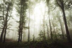 Floresta mágica com névoa e luz Imagens de Stock Royalty Free