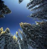 Floresta mágica do abeto vermelho do inverno Imagens de Stock