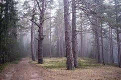 Floresta mágica do pinho e a estrada na névoa foto de stock royalty free
