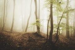 Floresta místico com névoa e as árvores torcidas Imagens de Stock