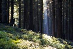 Floresta magnífica do pinho que cresce na inclinação íngreme da montanha, coberta com a grama verde pródiga Os raios brilhantes d Imagens de Stock