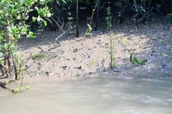 A floresta a maior dos manguezais do mundo em Bangladesh próximo um rio bonito Imagem de Stock Royalty Free