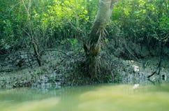 A floresta a maior dos manguezais do mundo em Bangladesh próximo um rio bonito Fotos de Stock Royalty Free