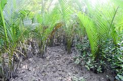 A floresta a maior dos manguezais do mundo em Bangladesh próximo um rio bonito Imagens de Stock