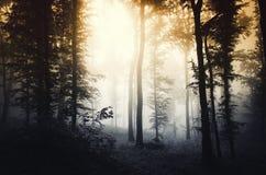 Floresta misteriosa escura com névoa no por do sol Fotos de Stock