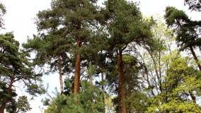 Floresta misturada - con?fera e ?rvores de folhas mortas na mesma floresta video estoque