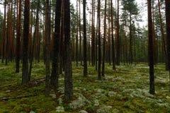 Floresta molhada do pinho na luz solar do sol do amanhecer Foto de Stock