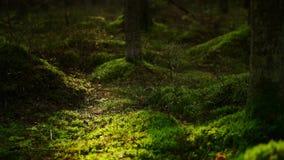 Floresta musgoso do pinho vídeos de arquivo
