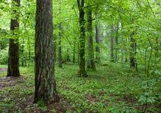 Floresta na manhã da primavera Fotografia de Stock