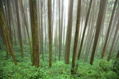 Floresta na névoa Foto de Stock