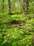 Floresta na primavera Fotografia de Stock Royalty Free