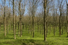 Floresta na primavera Fotografia de Stock