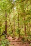 Floresta nacional da sequoia vermelha Imagem de Stock