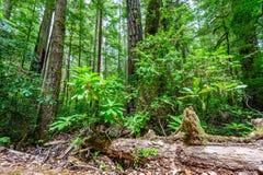 Floresta nacional da sequoia vermelha Imagem de Stock Royalty Free